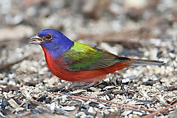 Painted Bunting migration