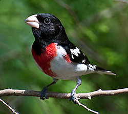 Rose-breasted Grosbeak migration