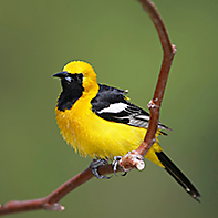 Hooded Oriole ID