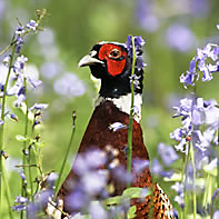 Ring-Necked Pheasant ID
