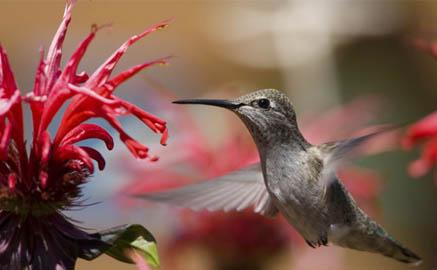 Hummingbird feeding from red flower