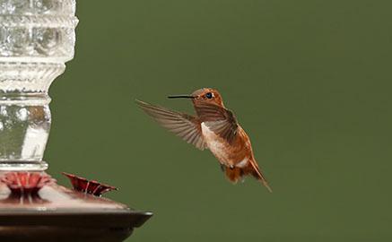 Hummingbird hovering near a feeder