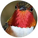 Rufous Hummingbird close up