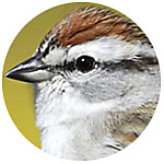 Chipping Sparrow close up