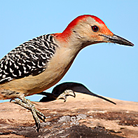 Red-Bellied Woodpecker ID