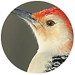 Red-bellied Woodpecker close up