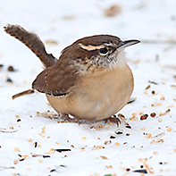 Carolina Wren diet