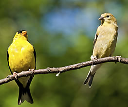 How to Attract Backyard Songbirds