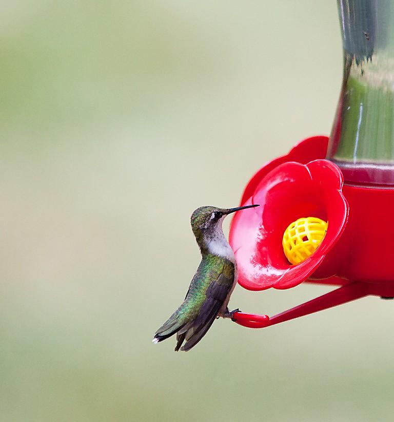 ruby-throated hummingbird at feeder