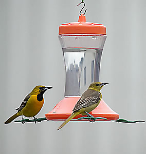 male and female hooded oriole at feeder