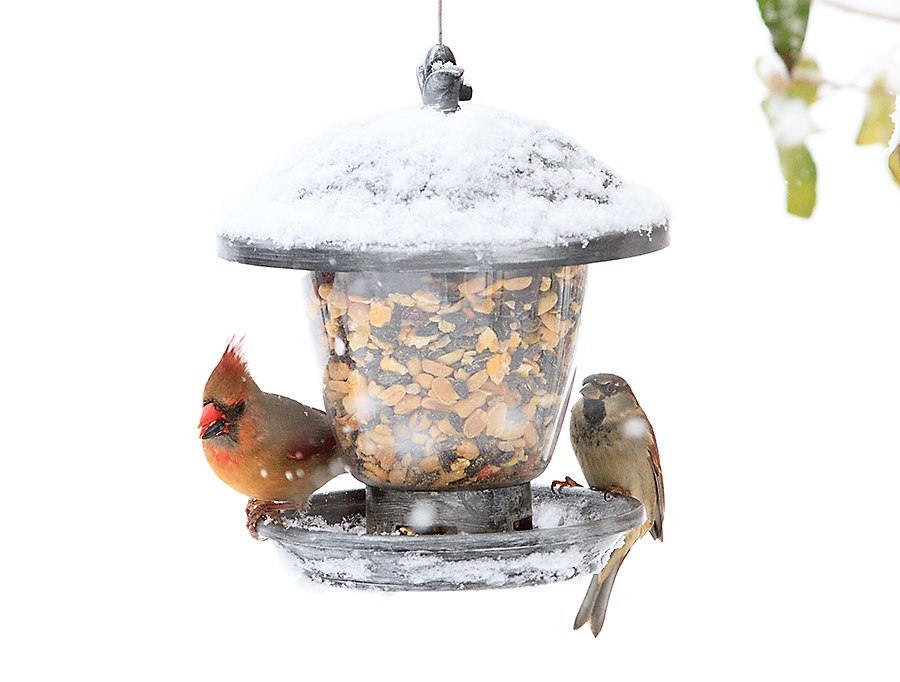 winter bird feeding female cardinal
