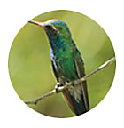 Buff-Bellied Hummingbird