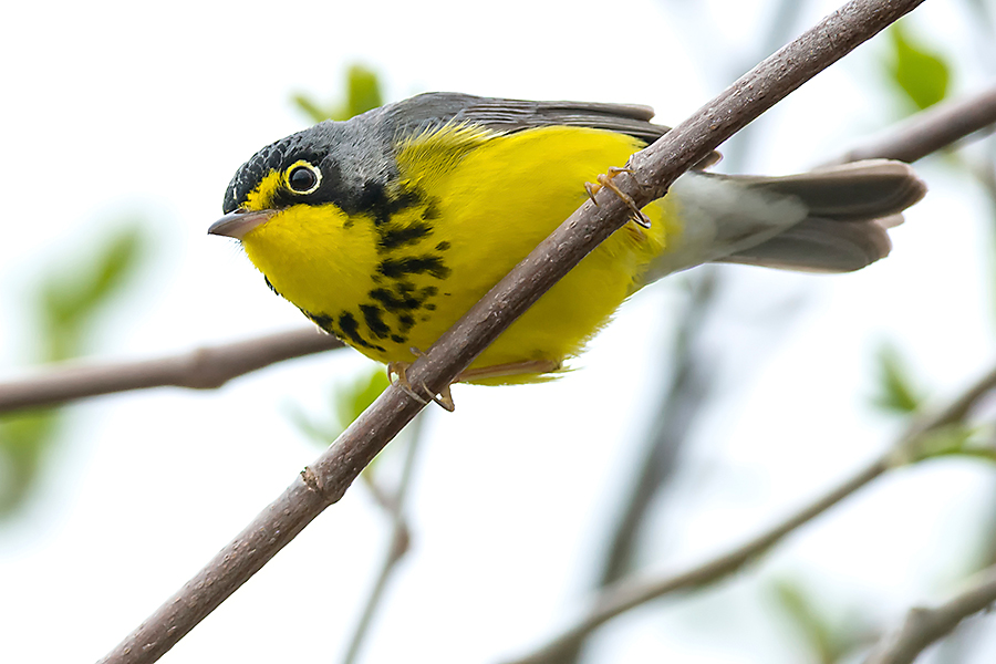 The Canada Warbler is a resident of the North American Boreal Forest.