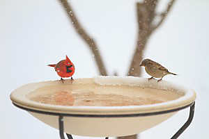 Keep bird baths clear of ice during the winter with a heater or by placing a warmed brick on the ice each morning.