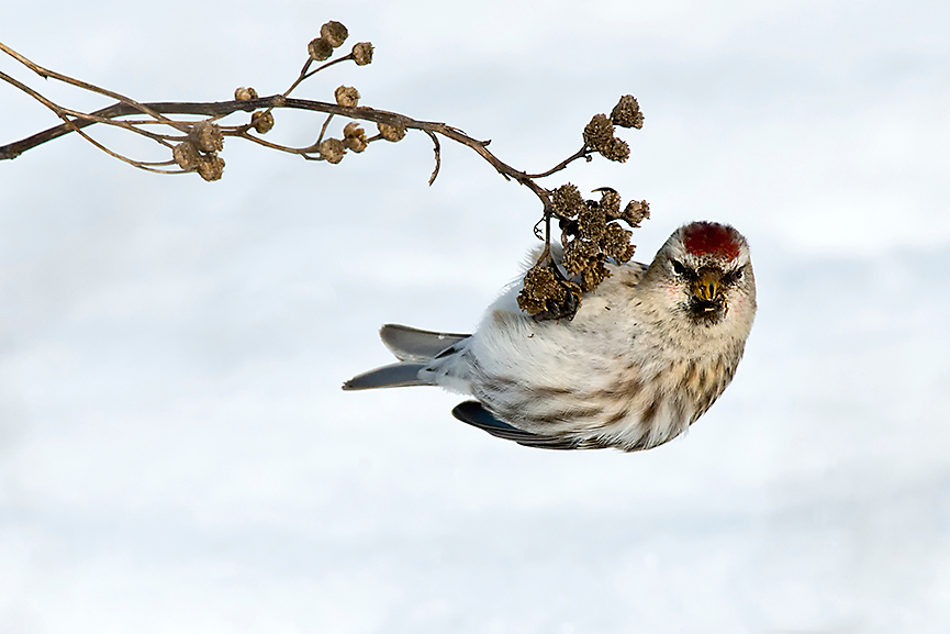 The Common Redpoll winters in the Northern United States and then migrates into Canada and Alaska for the summer.
