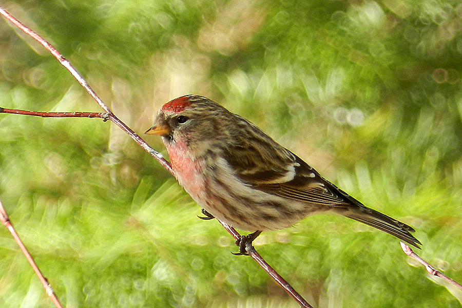 The Common Redpoll spends some of its time in the mainland U.S., the rest of the time it resides in the North American Boreal Forest.