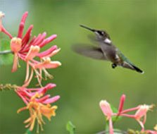 Hummingbird Attracting Flowers
