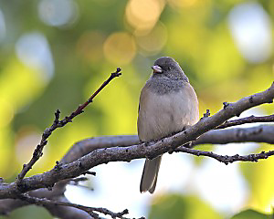The Dark-eyed Junco is a common bird in the U.S. through the winter, but in the summer it heads for Canada.