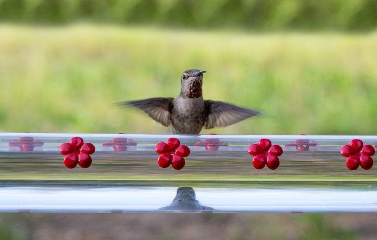 hummingbird feeding at hummerbar