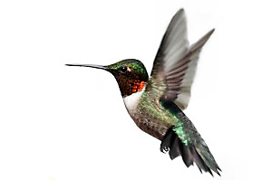 Ruby-throated Hummingbirds can flap their wings more than 70 times a second.