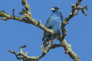 Indigo Buntings can often be spotted in weedy, bushy areas where forests meet fields.