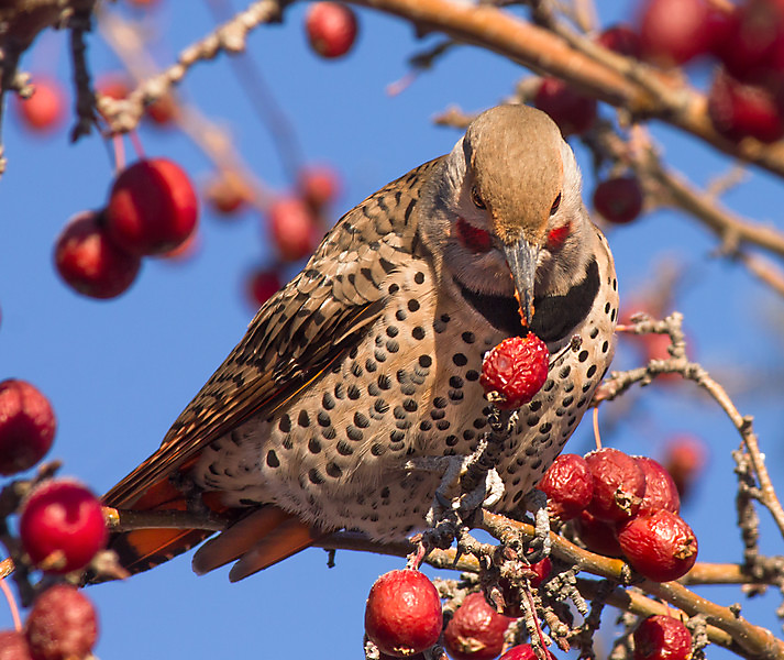 The Northern Flicker was once considered two species — the red-shafted flicker and the yellow-shafted flicker. ©Laura Bentley