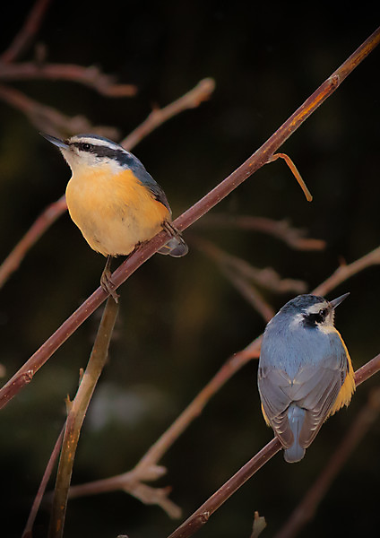 Laura Bentley captures a pair of Red-breasted Nuthatches in her lens. ©Laura Bentley
