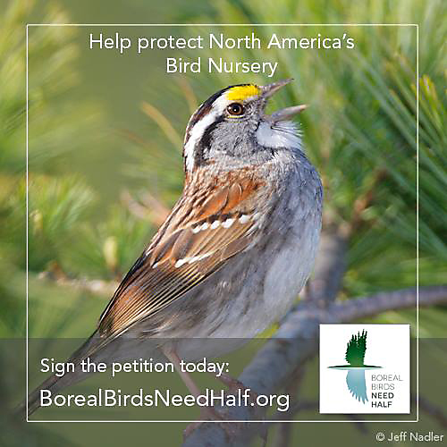 "The Boreal Songbird Initiative's ""Boreal Birds Need Half"" campaign is aiming to keep 50% of the North American Boreal Forest from being developed."