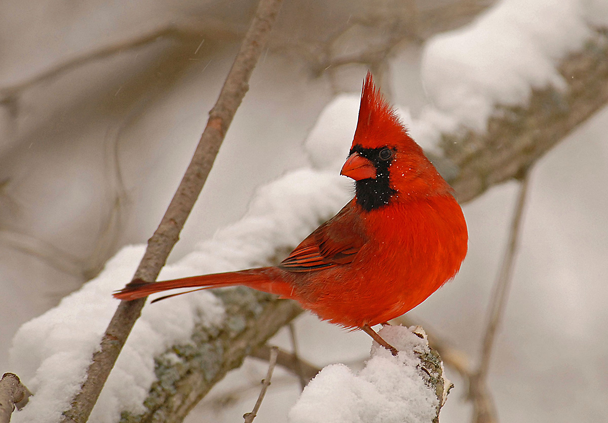 Many birds, including the Northern Cardinal take shelter in evergreen trees during cold winter nights.