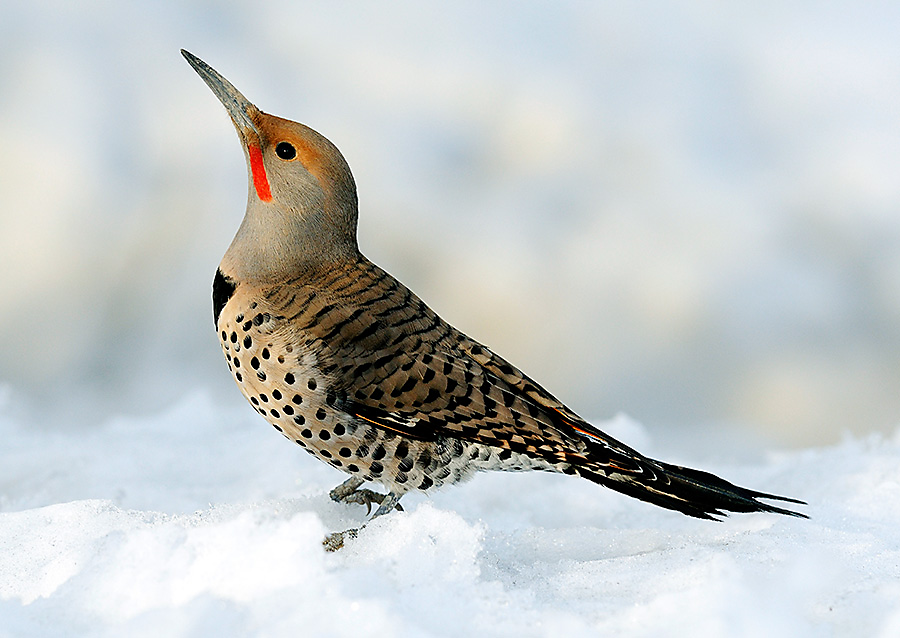 winter bird feeding northern flicker