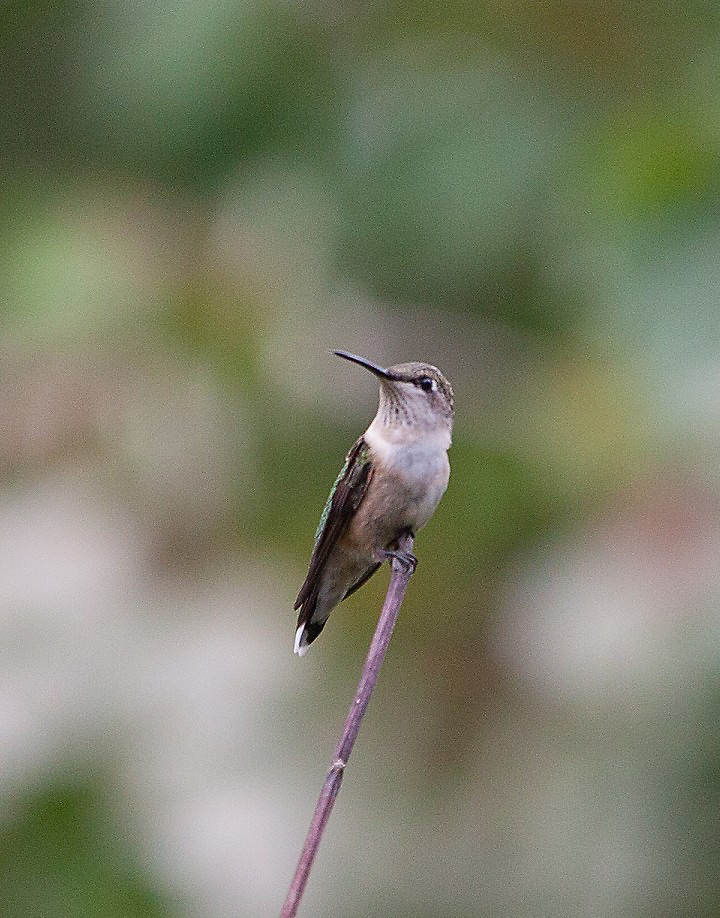 ruby-throated hummingbird on branch