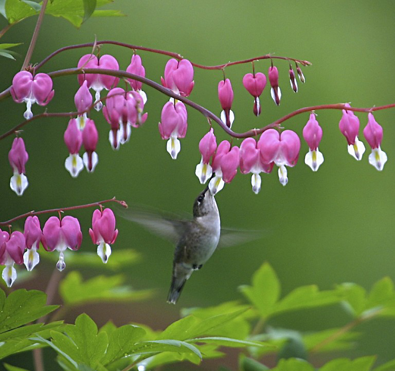 ruby-throated hummingbird at flowers