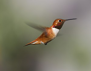 Rufous Hummingbirds migrate through the American Southwest to their breeding grounds, which stretch from the Pacific Northwest through Alaska.