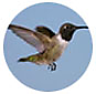 Black Chinned Hummingbird, Hummingbird Library