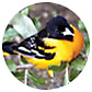 Spot-Breasted Oriole, Oriole Library