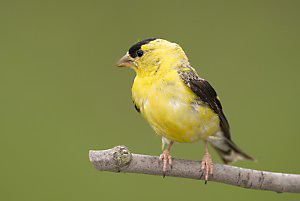 The American Goldfinch mostly migrates short distances within the United States.