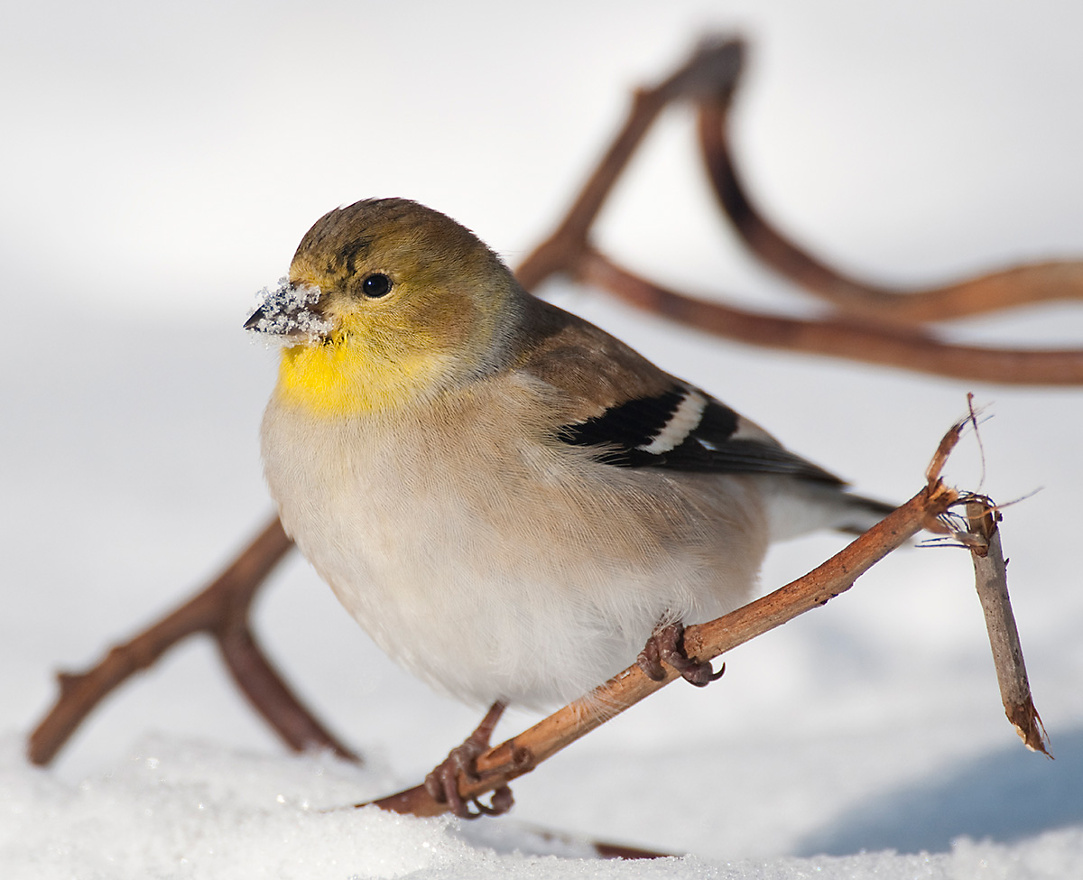 The American Goldfinch takes on a dusky plumage through the winter months while remaining a regular bird feeder visitor.