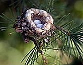 Hummingbird eggs and nest