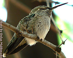 Hummingbird in the state of torpor