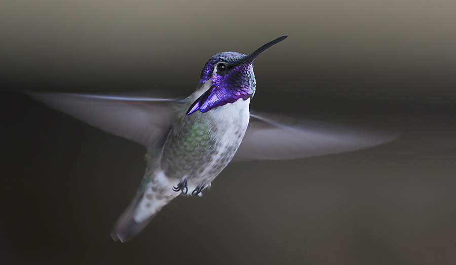 ID a Costa's Hummingbird