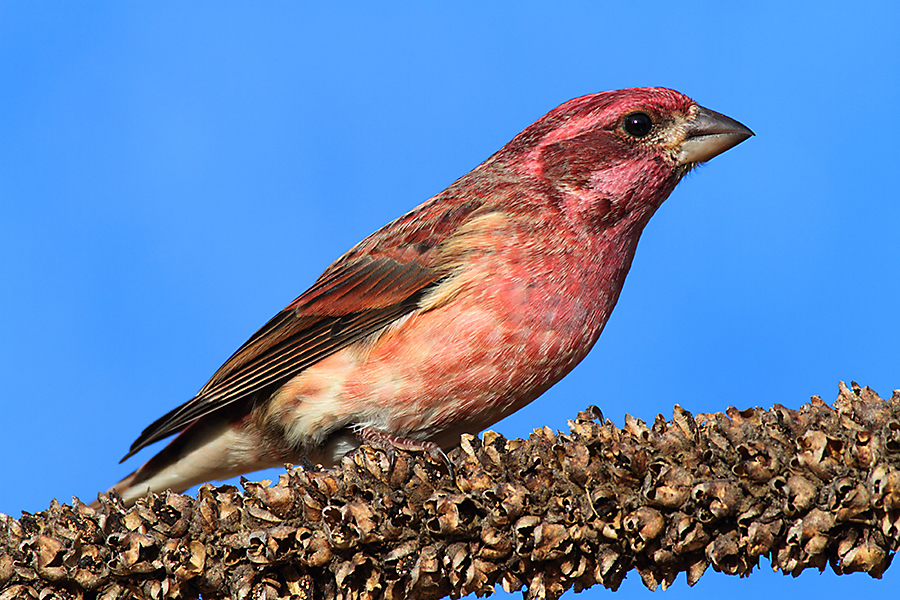 ID a purple finch
