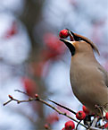 cedar wax wing eating berries