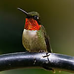 Hummingbird Species Library