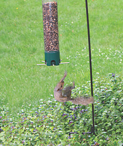 Sunflower Kernels Bird Seed and Squirrel Resistant Breakaway Feeder Bundle
