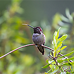 How do Hummingbirds Eat