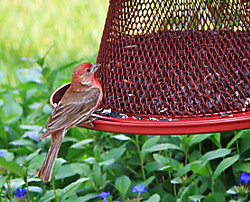 NO/NO® Cardinal Wild Bird Feeder With Lyric Black Oil Sunflower Seed