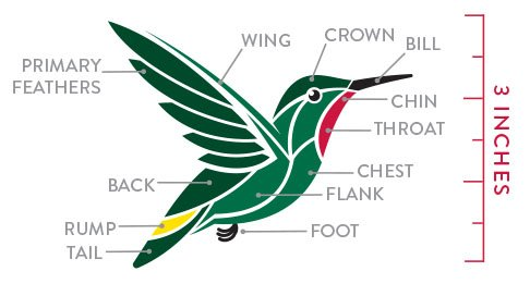 Hummingbird Anatomy