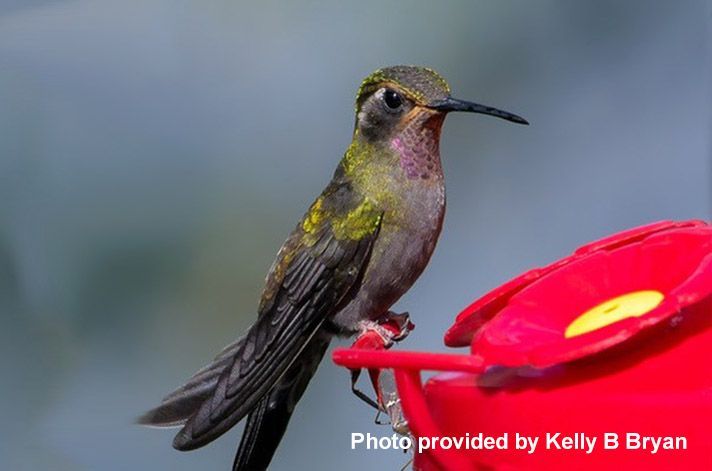 Amethyst-Throated Hummingbird