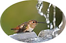 hummingbird at birdbath