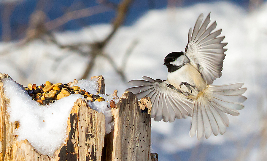 The Black-capped Chickadee feeds on high-protein seeds, nuts, berries and insects.